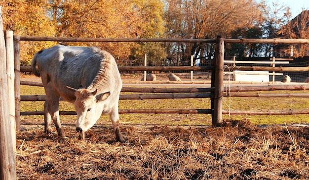 Vaca comendo feno na aldeia em um dia ensolarado