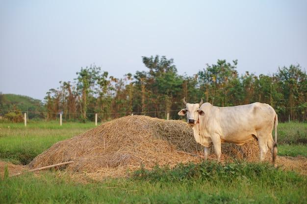 Vaca comum comendo palha de arroz
