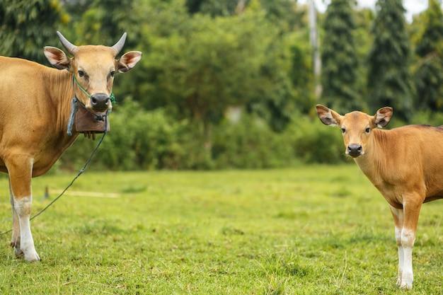 Vaca de cor marrom balinesa de retrato pastando em um prado.