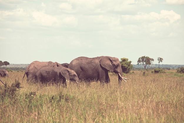 Vaca de elefante africano (loxodonta africana) com filhote em mata selvagem, quênia