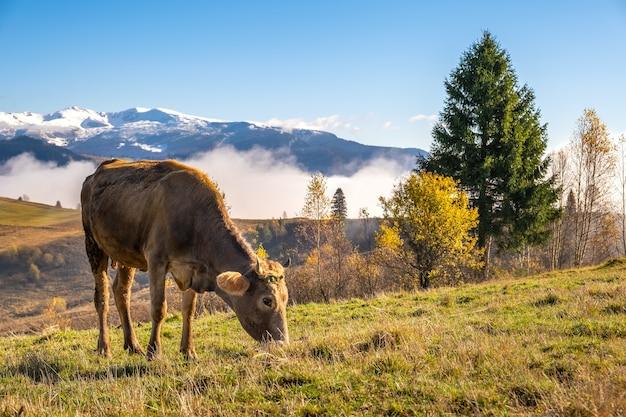 Vaca de fazenda pastando em pastagens alpinas nas montanhas de verão.