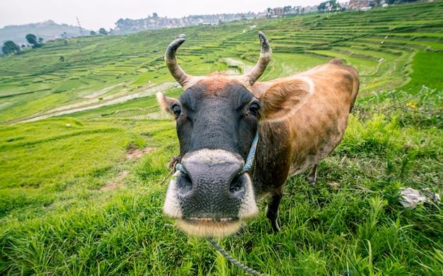 Vaca do animal doméstico na exploração agrícola da almofada, kathmandu, nepal.