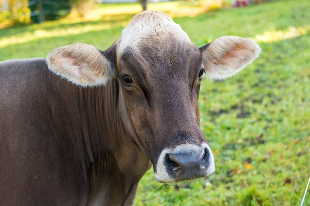 Vaca doméstica na fazenda