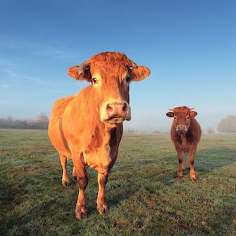 Vaca e bezerro marrons na luz da manhã