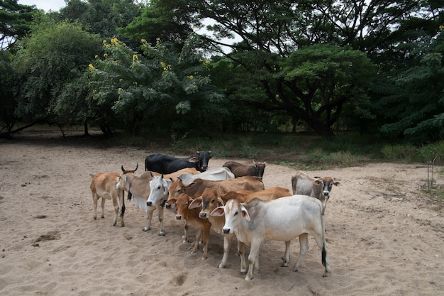 Vaca e boi na minha fazenda