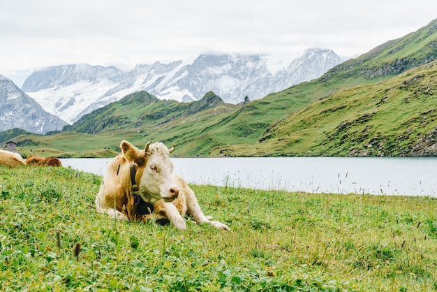 Vaca, em, suíça, alpes, montanha, grindelwald, primeiro