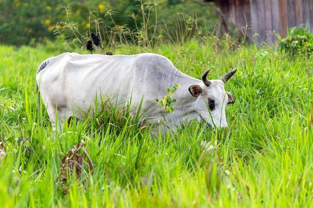 Vaca em um campo com foco seletivo de grama verde