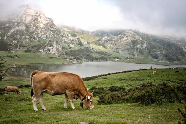 Vaca em um prado comendo grama na frente de um lago e uma montanha