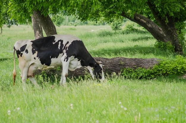 Vaca em uma pastagem de verão