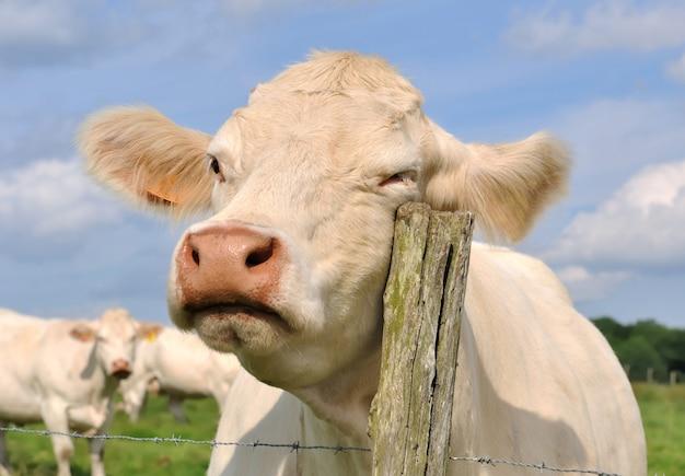 Vaca esfregando em um poste