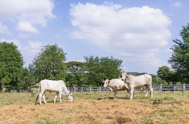 Vaca, ficar, em, fazenda