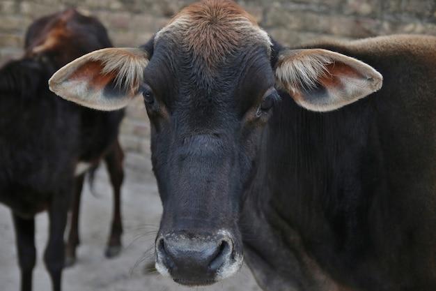 Vaca indiana