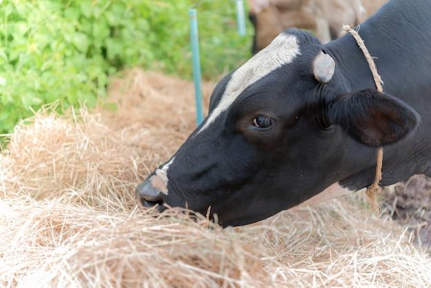 Vaca leite alimenta alimentos na fazenda