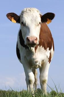 Vaca leiteira em um campo