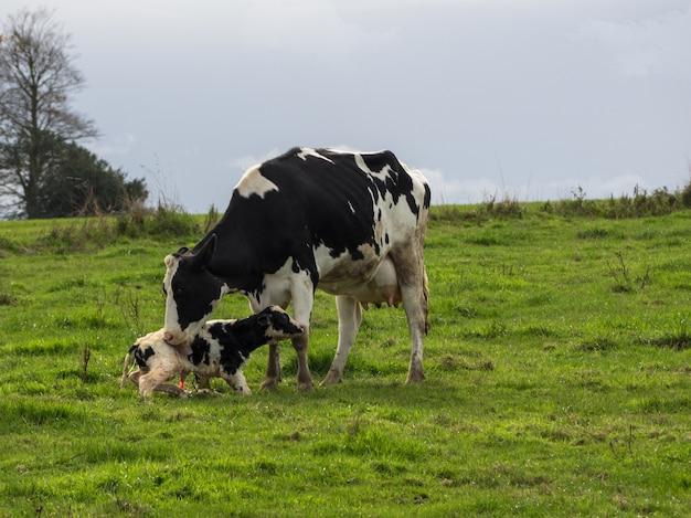 Vaca mãe e bezerro recém-nascido em preto e branco no interior da normandia. frança copiar espaço