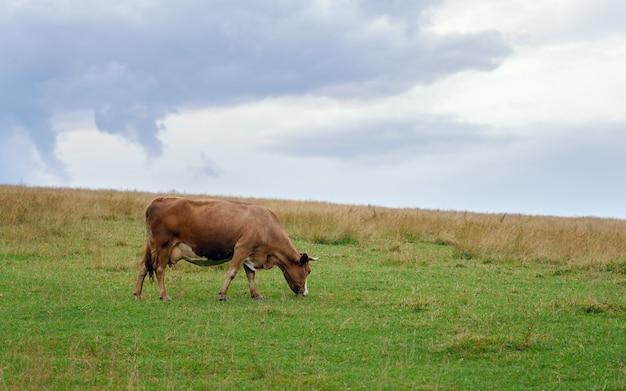Vaca marrom comendo grama no campo