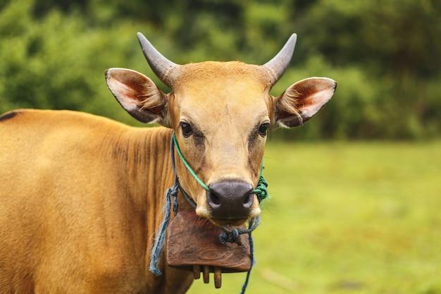 Vaca marrom da cor do balinese do retrato que pasta em um prado.