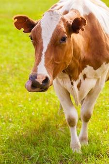 Vaca marrom e branca na grama verde