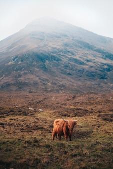 Vaca marrom escocesa com grandes chifres nas terras altas (montanhas) na escócia.