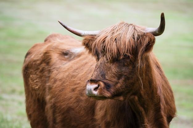 Vaca marrom na noruega