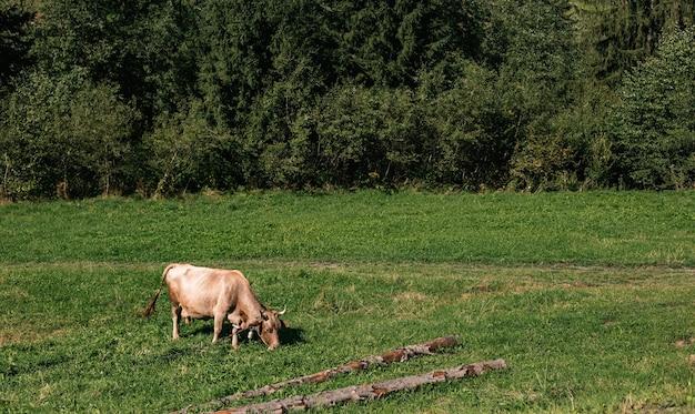 Vaca marrom pastando em campo gramado no campo