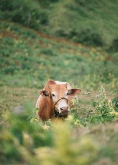 Vaca marrom pastando em colina agrícola na zona rural