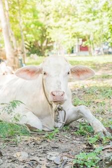Vaca, mentir grama