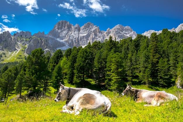 Vaca milck pastando nas montanhas alpinas italianas