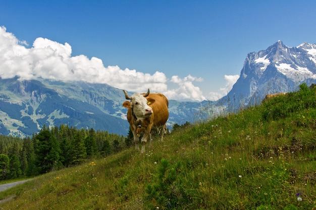 Vaca na idílica paisagem alpina, montanhas dos alpes e zona rural no verão, suíça