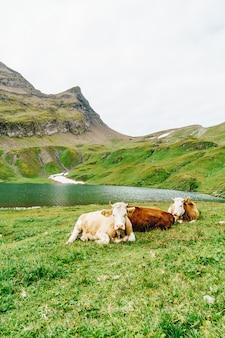 Vaca na montanha suíça alpes grindelwald primeiro