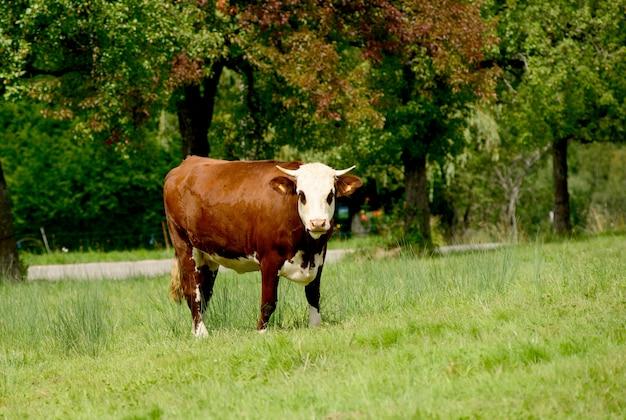 Vaca nas pastagens de montanha