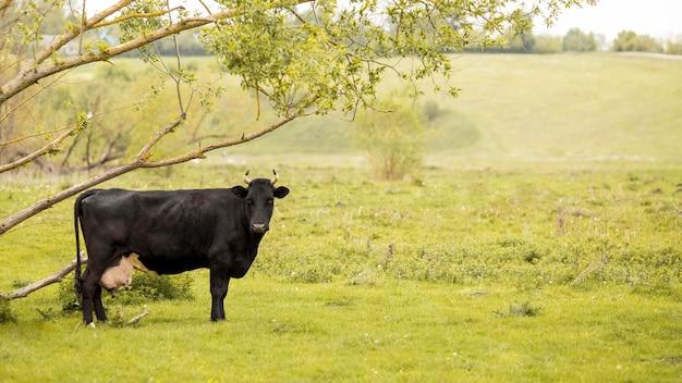 Vaca no campo de grama
