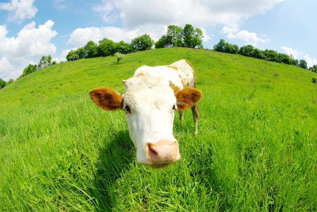 Vaca no campo olhando para frente