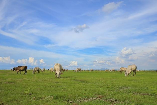Vaca no campo