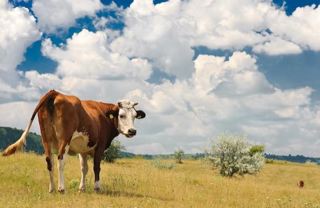Vaca no prado