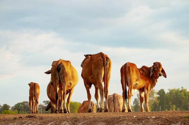 Vaca no verão seca na ásia