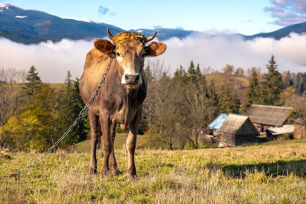 Vaca pastando em pastagem alpina nas montanhas de verão