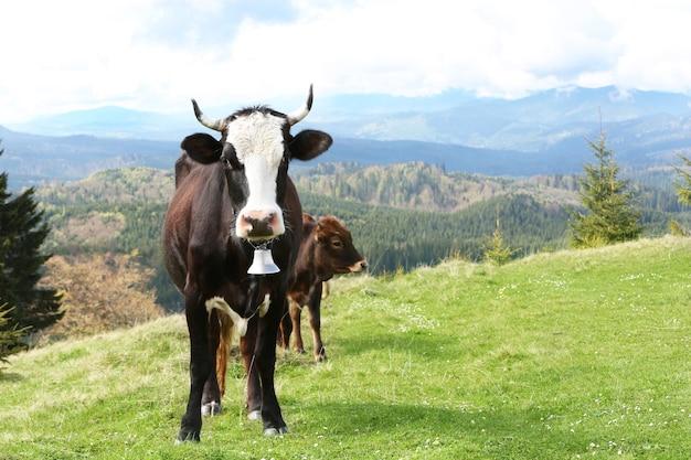 Vaca pastando em um prado de montanha