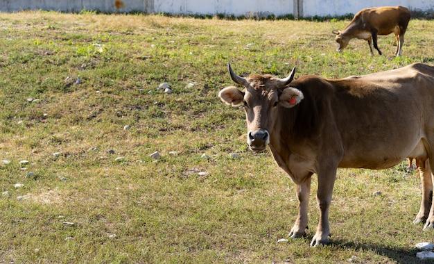 Vaca pastando na grama nas montanhas