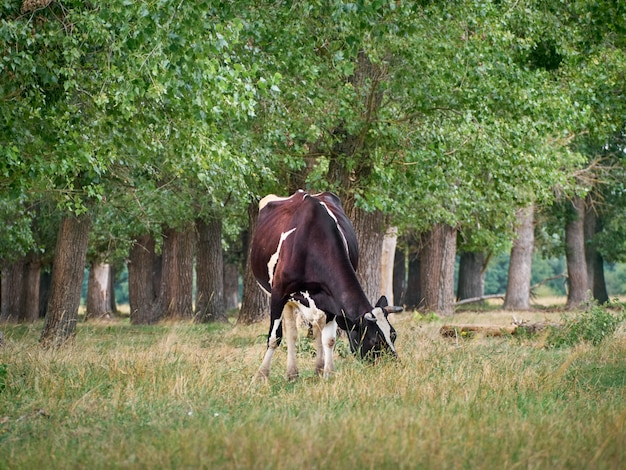 Vaca pastando no pasto.