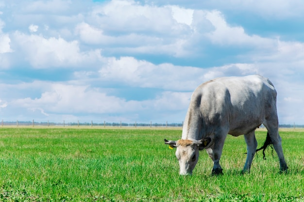 Vaca pastando no prado