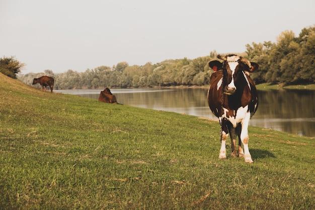 Vaca pastando perto do rio dniester