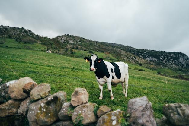 Vaca preta e branca em pé na encosta de uma colina gramada contra o céu nublado em uma paisagem montanhosa