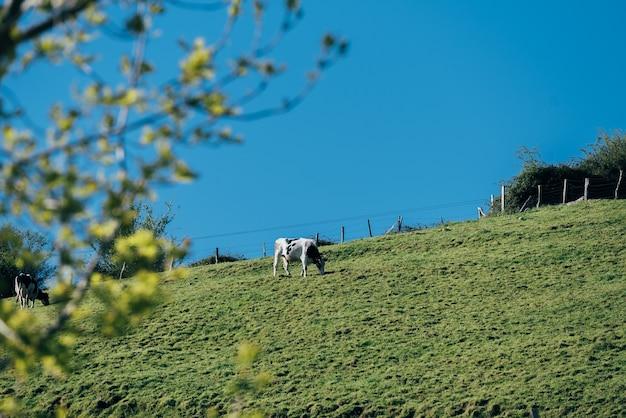 Vaca preta e branca em pé na encosta de uma colina gramada em uma paisagem montanhosa
