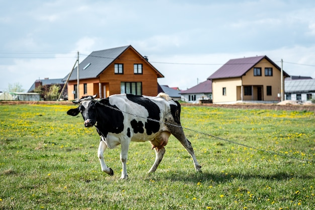 Vaca preta e branca no campo.