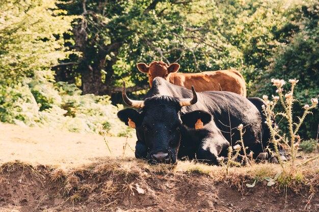 Vaca preta e seu filhote descansando no campo.