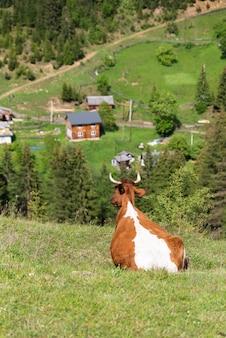 Vaca ruiva descansando em um pasto nas montanhas