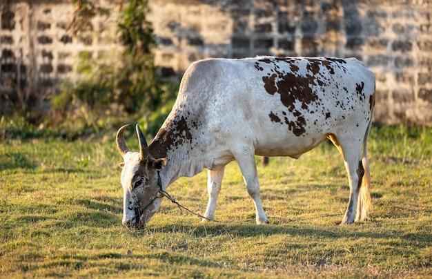 Vaca tailândia em um prado verde, uma fazenda aberta com gado leiteiro em um campo em uma fazenda rural. uma vaca pasta em um prado verde. agricultura. natureza pura.