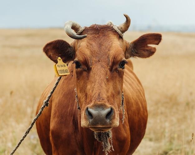 Vaca vermelha pastando em um campo no animal de estimação da natureza