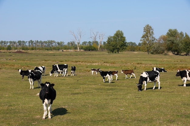 Vacas brancas e pretas em um pasto, prado.